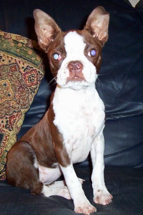 Boston Terrier Colors Registry New Akc Ckc Apri Color