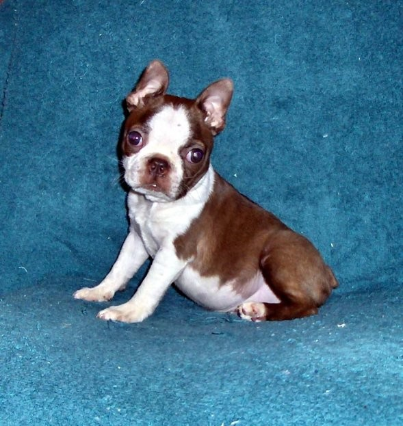 Boston Terrier Pets Family Friendly Puppies For Sale Red Seal