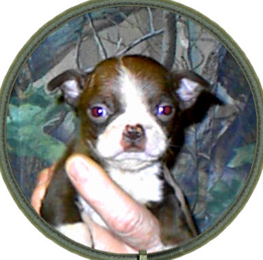 Boston Terrier Colors Registry,New!,AKC, CKC, APRI color